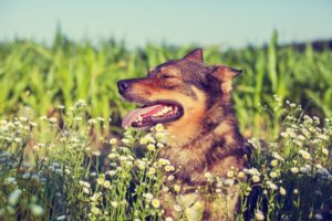 dog_in_flowers