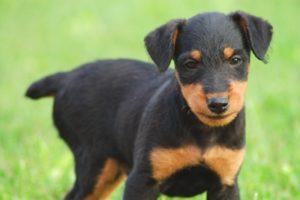 puppy_rott2