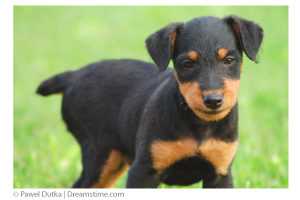 terrier-puppy-dreamstime